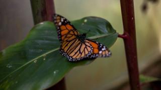 A Monarch butterfly in Bogota