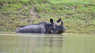 An One horned rhino swades through flood water in Bagari Range of Kaziranga National Park in Assam