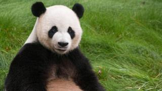 Yang Yang di Panda