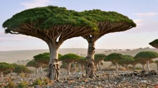A pair of blood dragon trees with their broad mushroom-domed top stand on a plain filled with others of their species on Socotra