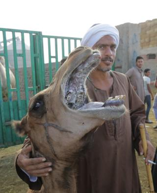 A man places his arm around the neck of camel. The animal's mouth is open and it is baring its teeth.