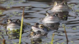 Moor frogs in a pond