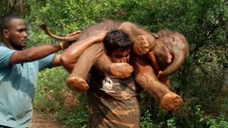 Sarathkumar carries the calf
