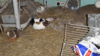 Three of the Guinea pigs being kept in squalor in the house in Cardiff