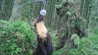 A pine marten attracted to a feeder
