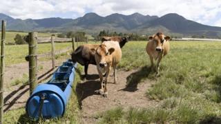 Cows feeding at Blanco near George Western Cape South Africa