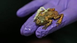 The body of a preserved female frog named Frankixalus jerdonii on a glove-covered hand