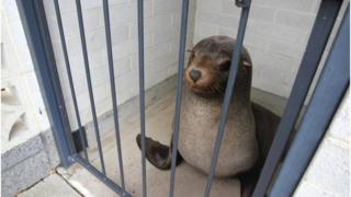 Sammy the seal trapped in women's toilets at Devonport in Tasmania