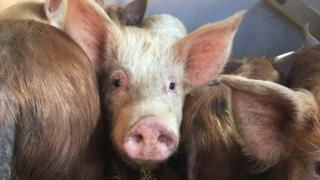 The rescued pigs