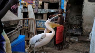 A boy plays with pelicans in Yoff, commune of Dakar, Senegal March 14, 2018.