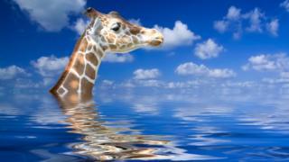 Жираф сможет удержаться на плаву, однако в ноздри постоянно будет попадать вода