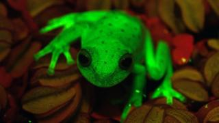 Glowing tree frog