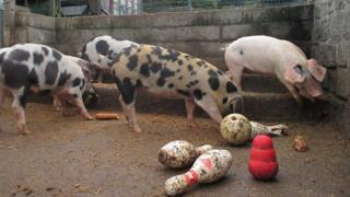 Pigs at Gorgie City Farm
