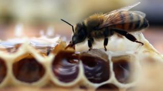 Honeybee - file pic