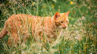 A ginger cat in high plants outdoors