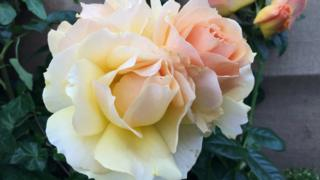 Трояндовий павільйон приваблює садівників-аматорів