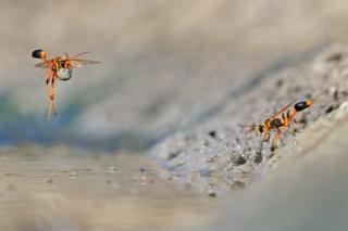 Mud-dauber wasps in the Walyormouring Nature Reserve, Western Australia
