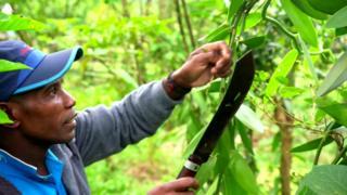 바닐라를 거두는 농부의 모습
