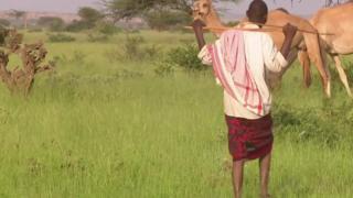 čuvar kamila