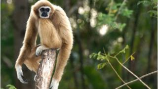 Gibbon in the forest