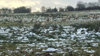 Sheep on a hill farm