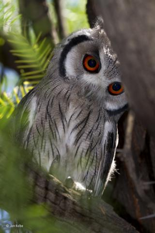 A small southern white-faced owl in a tree