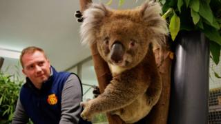 Burke the koala with Longleat's Head of Animal Adventure Graeme Dick