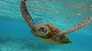 A turtle swimming through the Great Barrier Reef