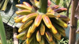pisang tongka langit