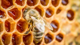 A bee with honeycomb