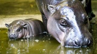 Baby hippo and mother at Bristol Zoo