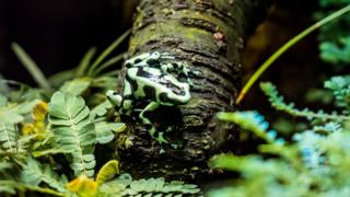 harlequin-frog-sat-on-a-leaf