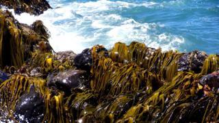 Algas sobre rocas en la Isla Rey Jorge