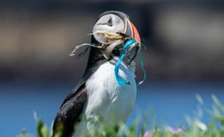 Puffin with plastic