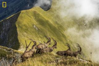 A herd of ibexes are seen on a mountain ridge