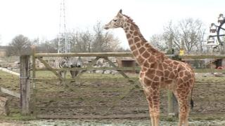 Library picture of giraffe at Flamingo Land