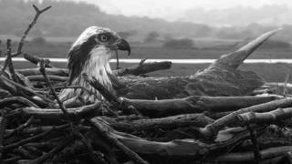 Osprey at Cors Dyfi reserve