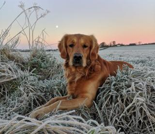 Golden retriever in frosty grass