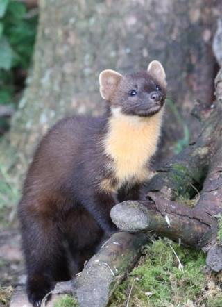 This young pine marten was photographed in Perthshire by John Watt.