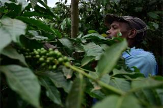 A farmer is seen in the midst of coffee trees' green foliage.