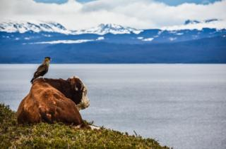A cow and a bird looking at mountains