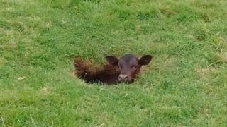 Sinky the calf