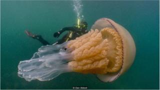 """一只巨大桶形水母的重量可以达35公斤。由于体型庞大,也被称为""""垃圾桶盖水母""""。"""
