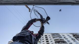 Handling a bird in a net