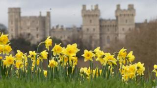 Daffodils in bloom near Windsor Castle