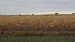 North Dakota corn field