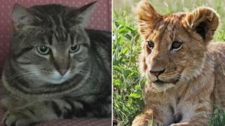 Simba the cat (l) and a lion cub (r)