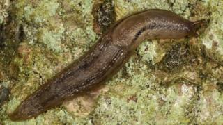 Dusky Arion slug