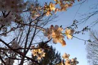science Blossom on tree