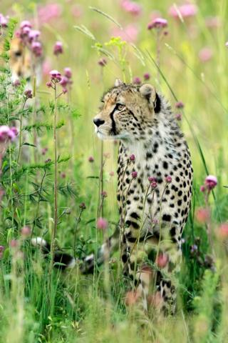 A cheetah amongst flowers